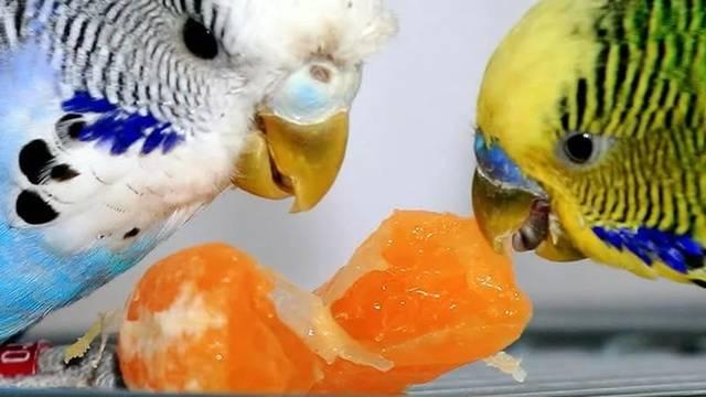 Как дпвать энторосгель попугаю